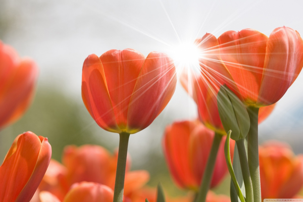 post_aconsel_tulipas_laranjas